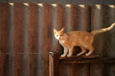 Fluffy ginger white cat walk on the slate fence 스톡 콘텐츠