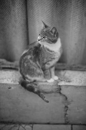 Lovely calico cat sitting on the old fence. BW photo. 免版税图像