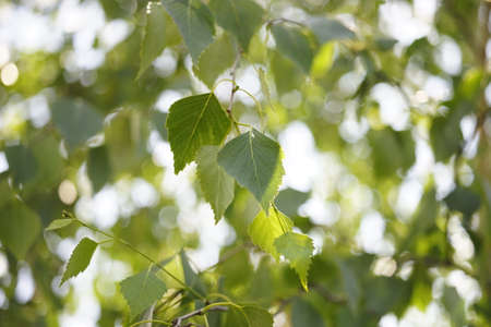 green birch leaves on branches in the sunny day.