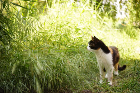Tricolor cat walk in summer garden on the green grass.
