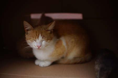 beautiful ginger white cat sleeps in a cardboard box.