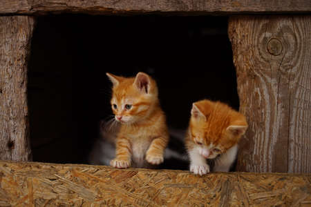 Two cute kittens in their wooden house. Interested in how to climb a fence. 写真素材