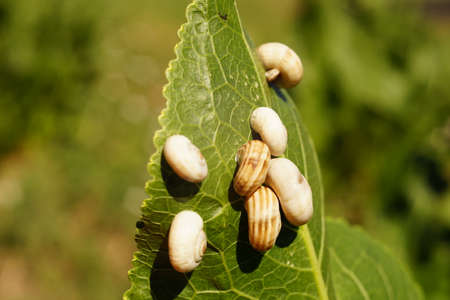 White snail shells on green horseradish leaf in a field.