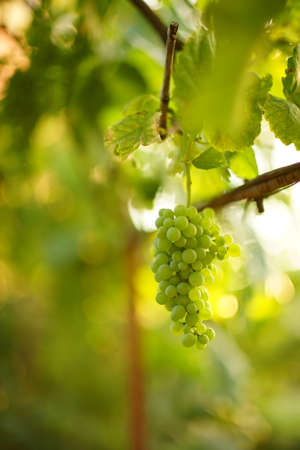Green ripening grapes growing in the summer garden. 写真素材