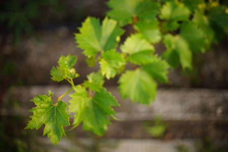Fresh green grape leaves on the long branch in summer garden closeup. Art bokeh
