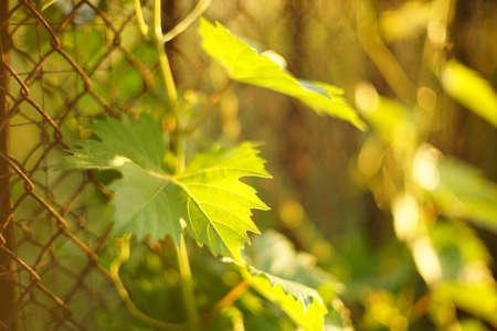 Green grape leaf on the branch in sunny summer garden closeup. Art bokeh