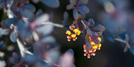 Barberry shrub with small yellow flowers grows in a spring garden.