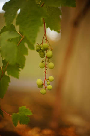 Green ripening grapes hang on the branch in the summer garden Zdjęcie Seryjne