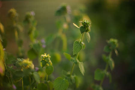 Lamium purpureum herb. Annual or biennial herbaceous plants. Wild purple flowers grow in sunny field