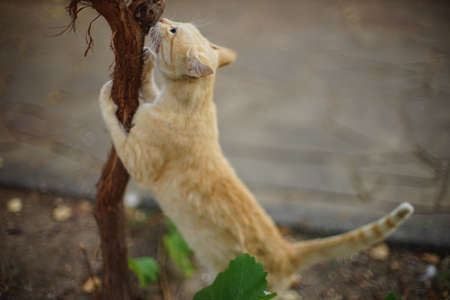 Cute ginger cat sharpens its claws on the grape trunk in summer garden