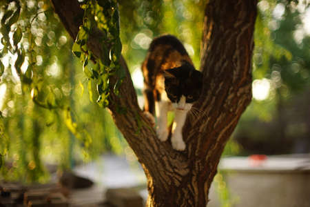 Tricolor cat walk on the curly willow tree in summer garden. Zdjęcie Seryjne