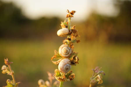 Group of white snail shells sit on the stem of a plant in the garden