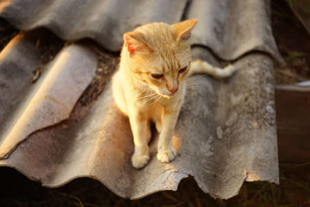 cute ginger cat sitting on the old slate sheet in summer.