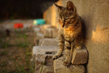 cute tabby kitten walks on old bricks by the wall at summer sunset Zdjęcie Seryjne