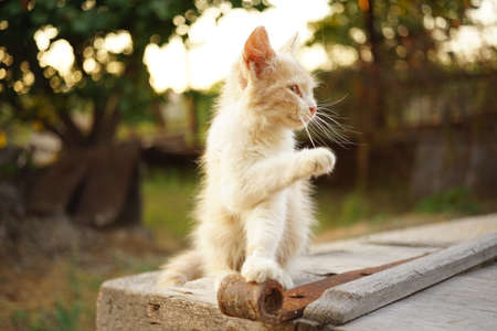 cute fluffy beige kitten sitting in the summer garden and waving his paw Zdjęcie Seryjne
