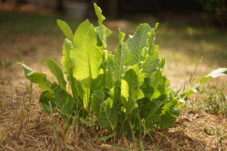 green horseradish leaves grows in the sunny summer garden.