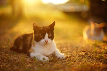 Tricolor cat relax in sunny sunset garden with warm sunlight.