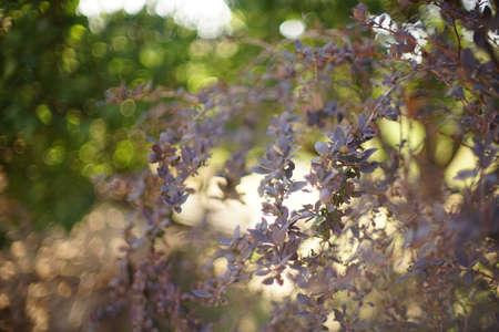 Barberry bush grows in a summer garden, art focus.