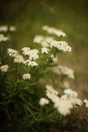 Yarrow herb with white flowers grow in the summer garden. Stock Photo