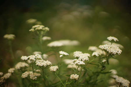 Yarrow plant with white flowers grows in the summer garden.