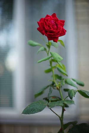 Red rose flower grows in the summer garden. Background blurred hous window
