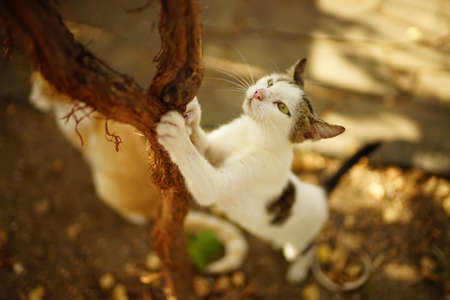Lovely white cat sharpens its claws on the trunk of the grape