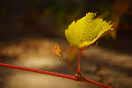 Young green grape leaves with burgundy stem grow in the sunny garden. Closeup view