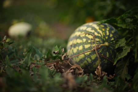 Ripe stripped watermelon grows in the summer garden.