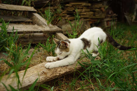Cute white cat sharpening its claws on a wooden plank in the garden Stockfoto