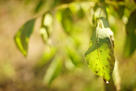 walnut tree green leaf closeup on the tree branch Stock Photo