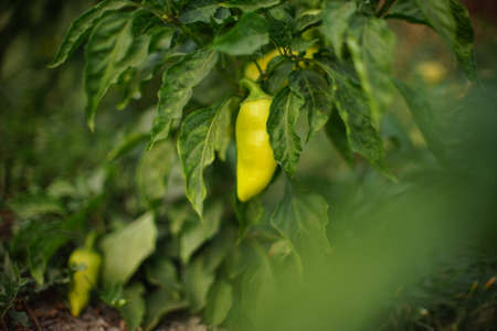 Large green bushes of sweet pepper grow in a summer garden closeup.