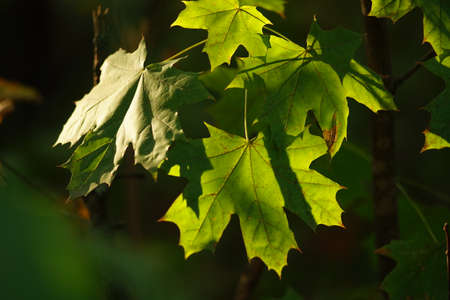 maple tree green leaves closeup in the autumn forest. 写真素材