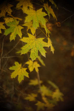 autumn maple tree with yellow and green leaves in the forest.