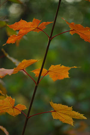 Orange maple leaves on a tree branch in the green autumn forest. Stok Fotoğraf