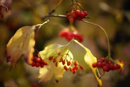 Autumnal rowan bush with golden dry leaves and red berries on a sunny day. Stockfoto