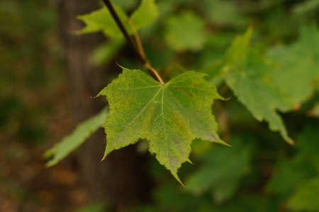 Maple tree with green leaves closeup in autumn forest