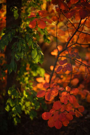 Amazing orange and green leaves on a tree branch in a magical sunny autumn forest.