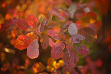 Amazing vivid orange leaves on a tree branch in a magical sunny autumn forest.