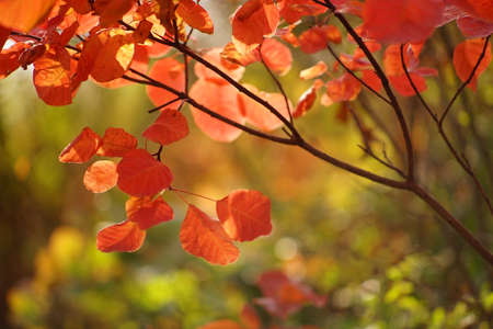 Autumnal red orange leaves on a tree branch in a magical sunny forest.