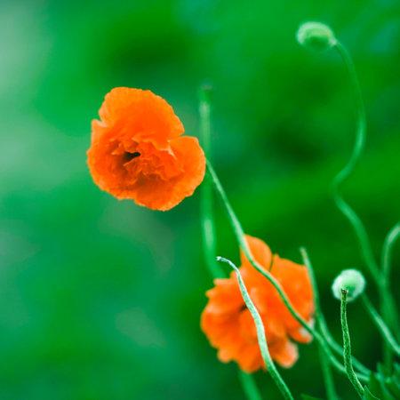 Lush orange peony flowers grows in a green garden