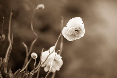 Lush peony flowers grows in the garden. Sepia style photo.
