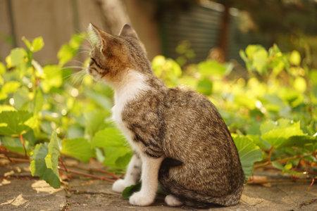 Tabby kitten relax in the summer garden near green grape leaves. Standard-Bild
