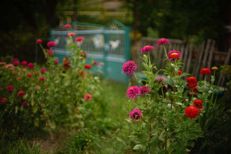 Autumn garden with pink and red flowers bushes Chrysanthemum flowers