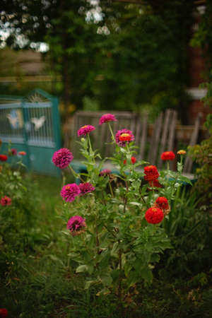 Autumn garden with pink and red chrysanthemum flowers