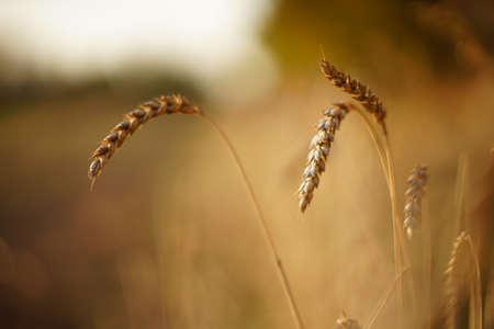 Wheat ears close up in the autumn field. Фото со стока