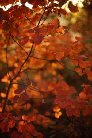 Vivid orange leaves on a tree branch in sunny autumn forest.