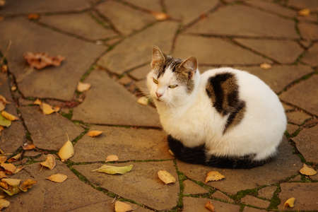 White spotted cat rest in sunny autumn garden with dry leaves on the road. Фото со стока