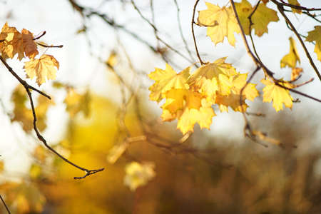 Lovely yellow maple tree leaves on the branches in autumn park.