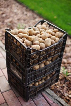 Fresh dug brown unpeeled potatoes in plastic crates in the garden.