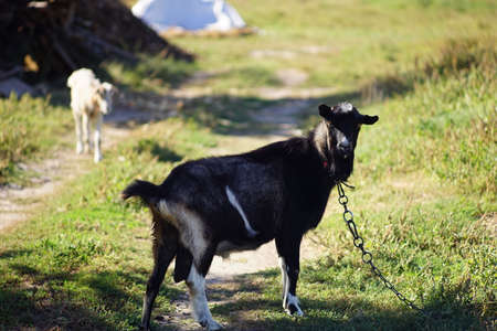 portrait of a black goat on a leash in a summer meadow. Фото со стока